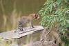 Leopard_Mara_Asilia_Kenya0003
