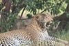 Leopard_Mara_Asilia_Kenya0006