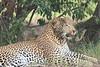 Leopard_Mara_Asilia_Kenya0005