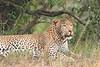 Leopard_Mara_Asilia_Kenya0017