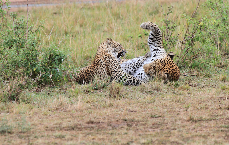 Olive and Son Leopard Mara Topi House