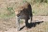 Leopard_Mara_TopiHouse_Rekero (10)