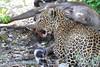Leopard_Mara_TopiHouse_Rekero (32)