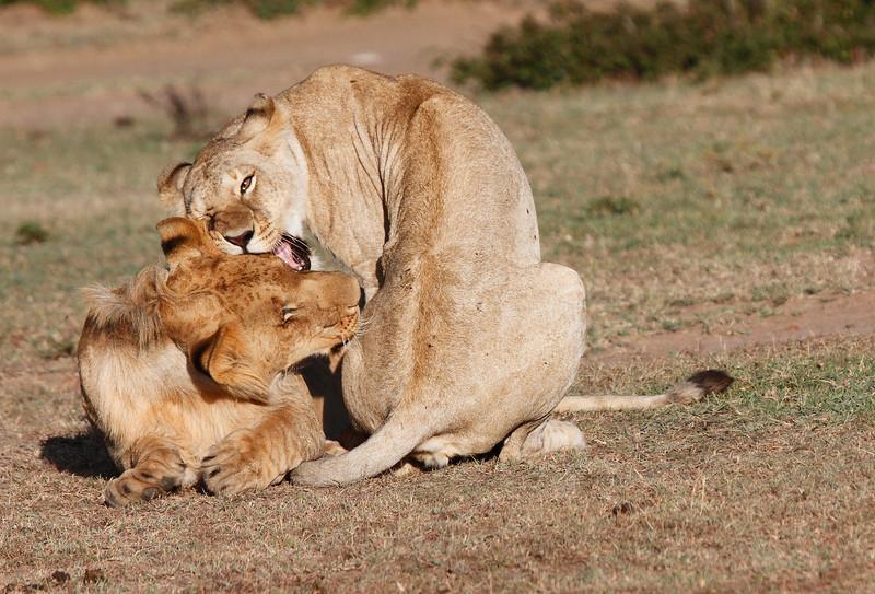Hyena_Lion_Wildebeest_Kill_Mara_TopiHouse (28)