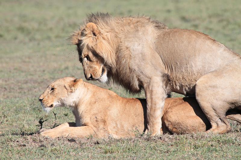Lion Sex Family Mara Topi House