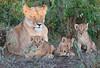 Lion Cub Family Mara Rekero