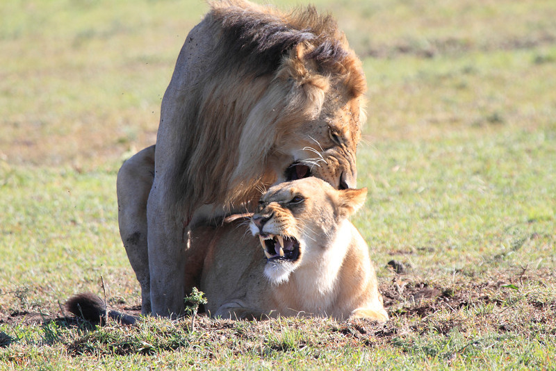 Lion Family Sex Mara Topi House