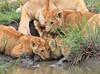 Lion_Family_Hunting_Mara (21)