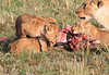 Lion Cub Family Mara Topi House Feeding