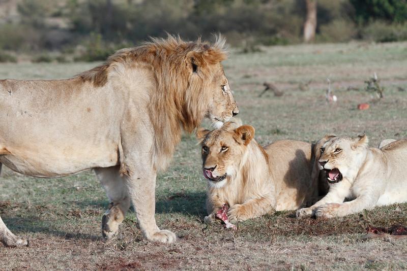 Lion Family Mara Topi House