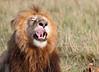Lion_Family_Feeding_Mara_TopiHouse (24)