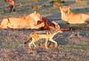 Lion Family Mara Topi House Black Backed Jackal