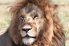 Lion Family Mara Topi House Feeding