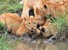 Lion_Family_Hunting_Mara (22)