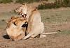 Hyena_Lion_Wildebeest_Kill_Mara_TopiHouse (27)
