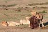 Hyena_Lion_Wildebeest_Kill_Mara_TopiHouse (26)