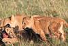 Lion_Family_Feeding_Mara_TopiHouse (3)
