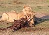 Lion Family Mara Topi House