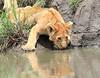 Lion_Family_Hunting_Mara (20)