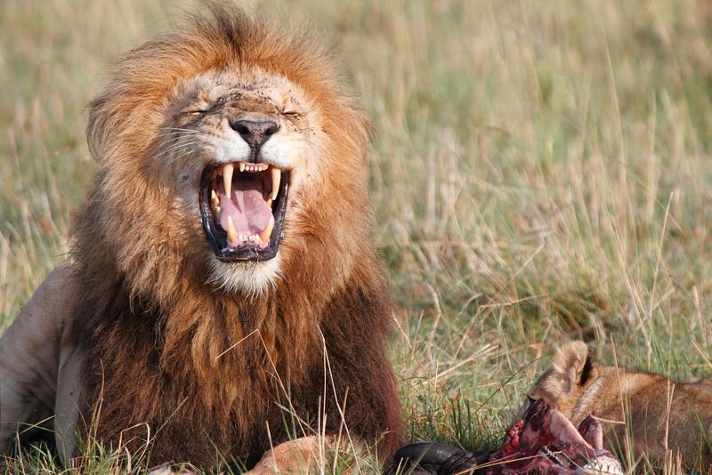 Lion_Family_Feeding_Mara_TopiHouse (25)