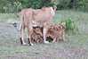 Lion_Cubs_Afternoon_Meal_Mara_Asilia_Kenya0017