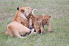 Lion_Cubs_Afternoon_Meal_Mara_Asilia_Kenya0005