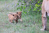 Lion_Cubs_Afternoon_Meal_Mara_Asilia_Kenya0008