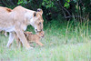 Lion_Cubs_Afternoon_Meal_Mara_Asilia_Kenya0011