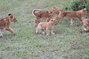 Lion_Cubs_Afternoon_Meal_Mara_Asilia_Kenya0013