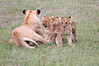 Lion_Cubs_Afternoon_Meal_Mara_Asilia_Kenya0003