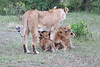 Lion_Cubs_Afternoon_Meal_Mara_Asilia_Kenya0016