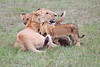 Lion_Cubs_Afternoon_Meal_Mara_Asilia_Kenya0006