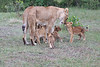 Lion_Cubs_Afternoon_Meal_Mara_Asilia_Kenya0015