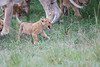 Lion_Cubs_Afternoon_Meal_Mara_Asilia_Kenya0010