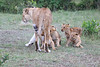 Lion_Cubs_Afternoon_Meal_Mara_Asilia_Kenya0020