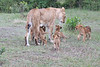 Lion_Cubs_Afternoon_Meal_Mara_Asilia_Kenya0014