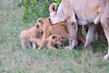 Lion_Cubs_Afternoon_Meal_Mara_Asilia_Kenya0009