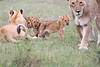 Lion_Cubs_Afternoon_Meal_Mara_Asilia_Kenya0002