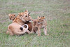 Lion_Cubs_Afternoon_Meal_Mara_Asilia_Kenya0004