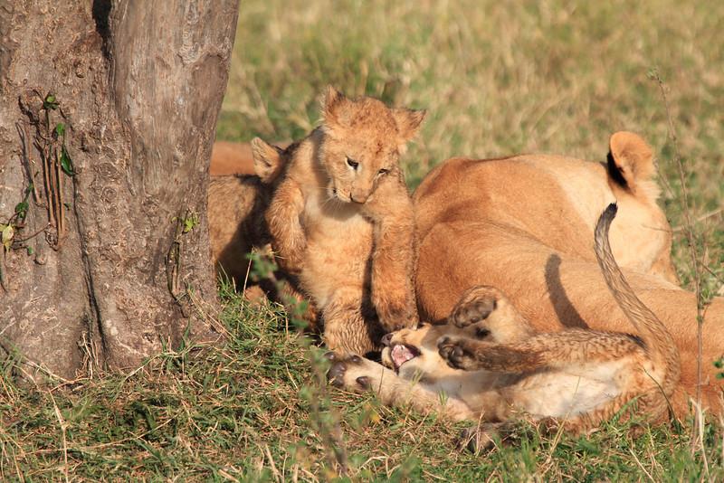 Mara Lion Cub Family Morning