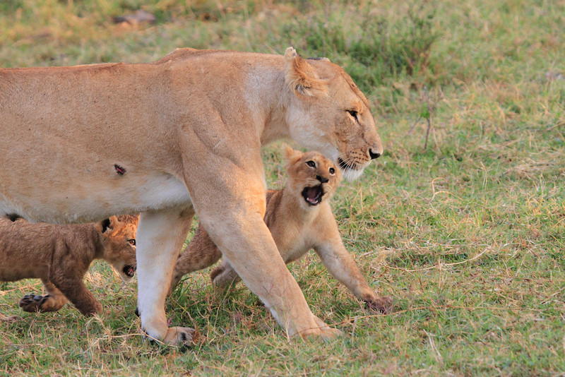 Mara Lion Cub Family Morning