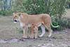 Lion_Family_Morning_Mara_Asilia_Kenya0011
