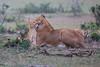 Lion_Family_Morning_Mara_Asilia_Kenya0005