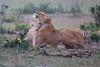 Lion_Family_Morning_Mara_Asilia_Kenya0006