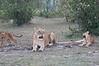 Lion_Family_Morning_Mara_Asilia_Kenya0013