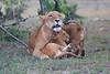 Lion_Family_Morning_Mara_Asilia_Kenya0017