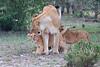 Lion_Family_Morning_Mara_Asilia_Kenya0010