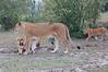Lion_Family_Morning_Mara_Asilia_Kenya0019