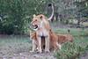 Lion_Family_Morning_Mara_Asilia_Kenya0008