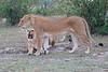 Lion_Family_Morning_Mara_Asilia_Kenya0021